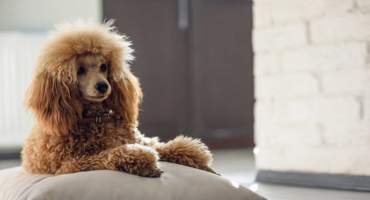 Poodle Names Over 650 Awesome Ideas For Your Curly Pup