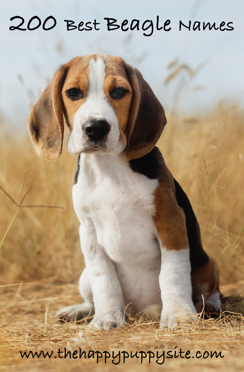 Best Beagle Names