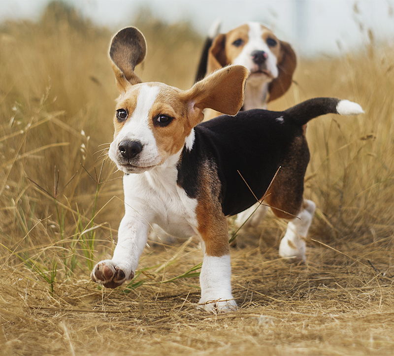 Beagle Names - 200 Great Ideas For Naming Your Beagle