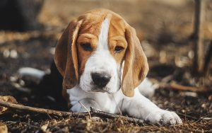 Beagle Names – 200 Great Ideas For Naming Your Beagle
