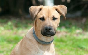 The Black Mouth Cur