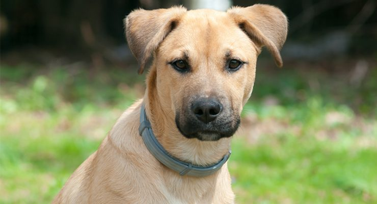 Black Mouth Cur - A Complete Guide To The Breed