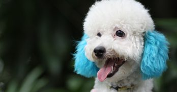 250 Perfect Poodle Names