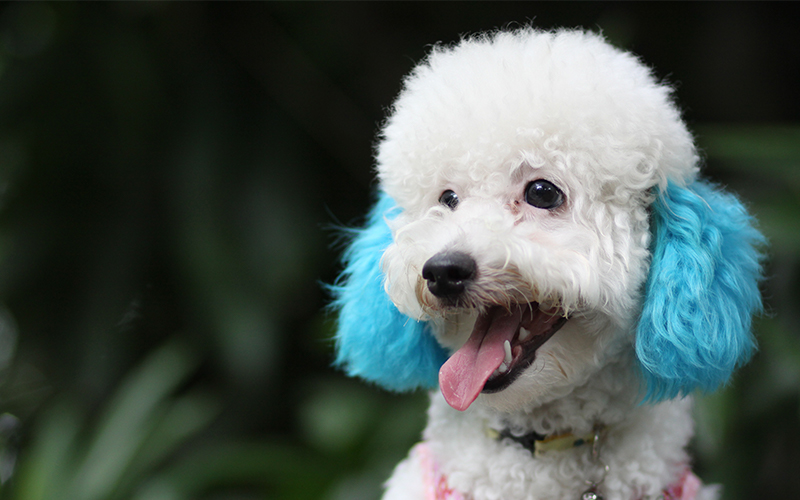 Poodle Names 250 Perfect Ideas For Naming Your Poodle