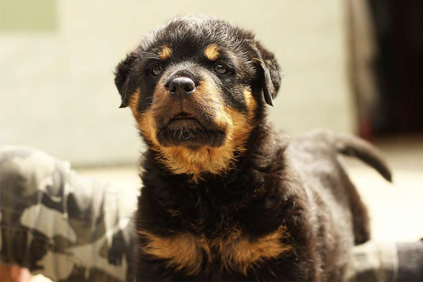 German Rottweiler Names