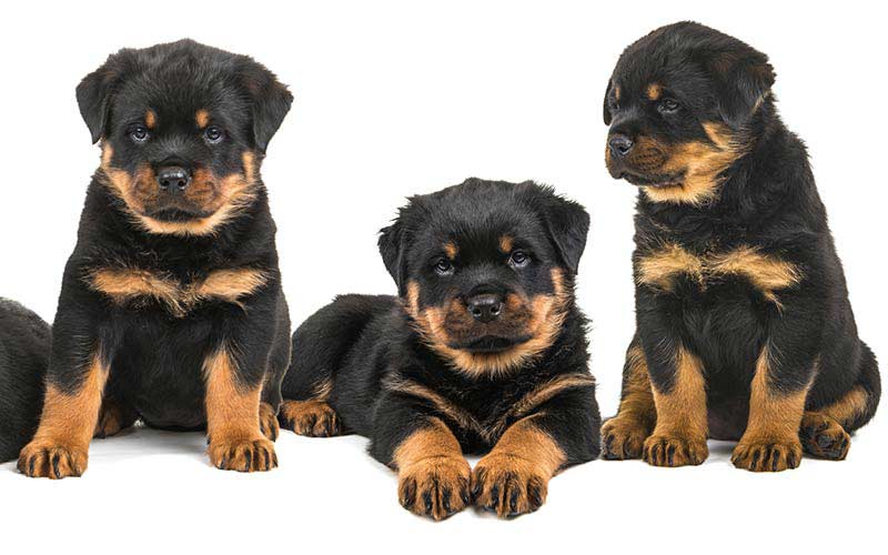 Rottweiler Names - 100 Great Ideas For Naming Your Rottie