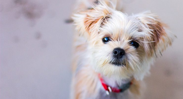 Shorkie – The Shih Tzu Yorkshire Terrier Mix
