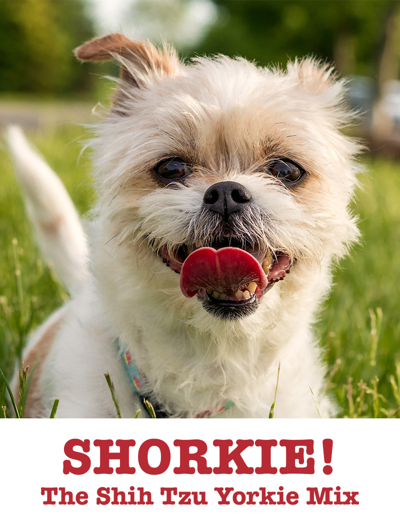 Shorkie - Shih Tzu Yorkshire Terrier Mix