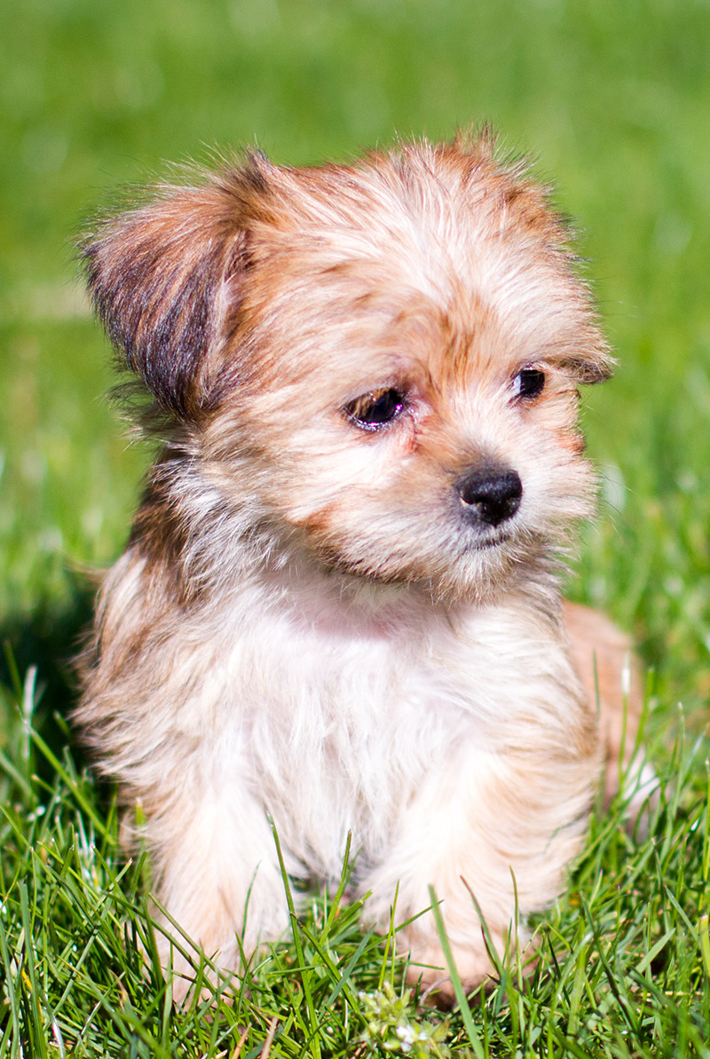 yorkshire terrier and shih tzu mix shorkie is the shih tzu yorkshire terrier mix the 7875