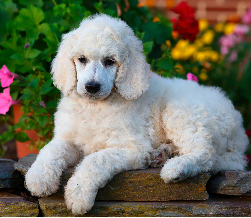 White Poodle What Makes This Color