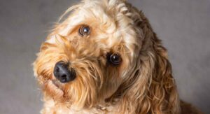 Cockapoo – A Complete Guide To The Cocker Spaniel Poodle Mix