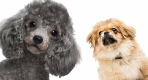 Peekapoo – A Complete Guide To The Pekingese Poodle Mix