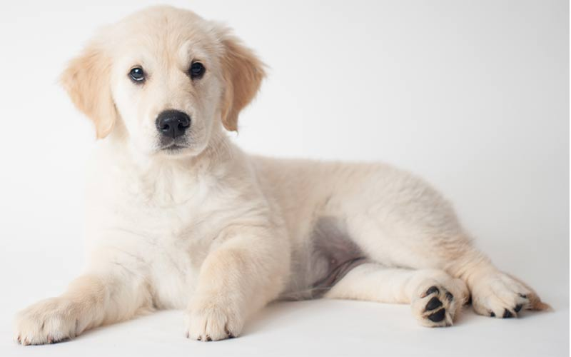 Cream Golden Retriever names