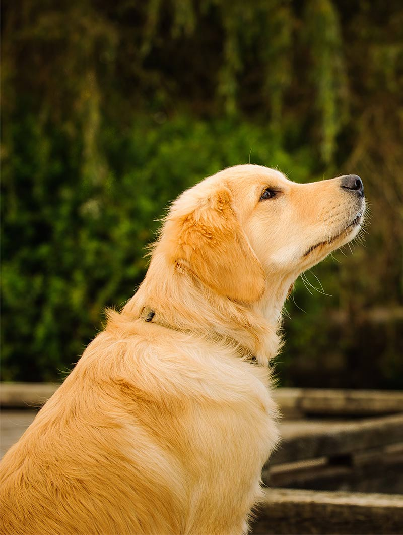 Top Golden Retriever Names