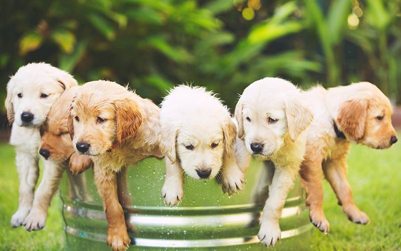 Popular Golden Retriever Names