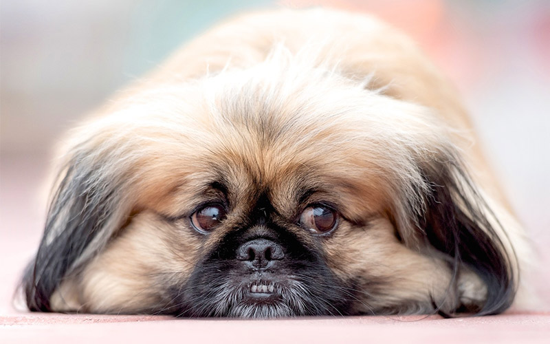 Peagle – Is the Pekingese Beagle Mix Right for You?