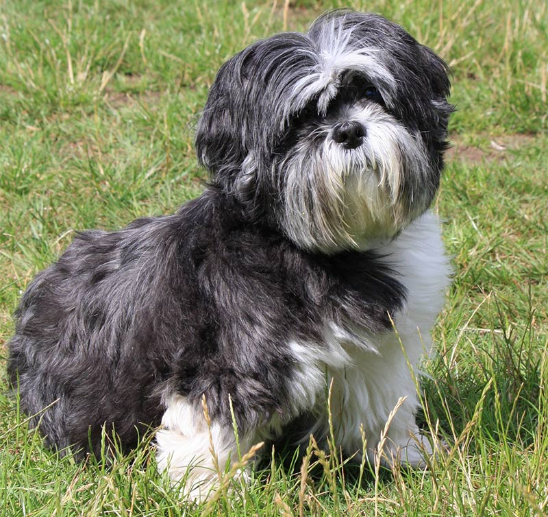 Shih Tzu Names Adorable To Awesome