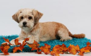 Shih Poo – Your Guide To The Shih Tzu Poodle Mix
