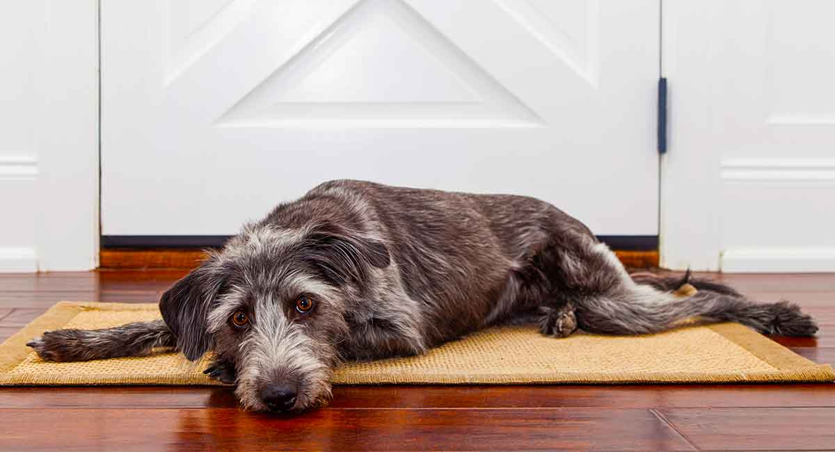Apoquel For Dogs With Allergies: Uses, Dosage and Side Effects