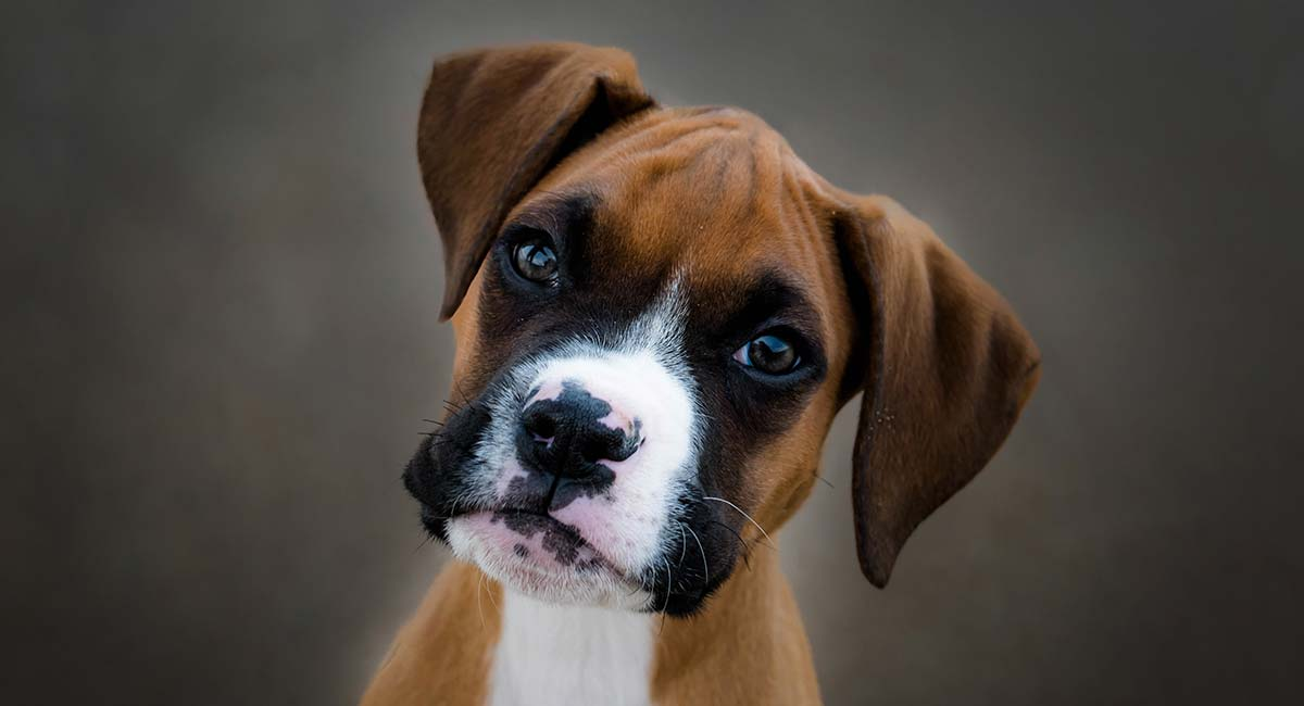 Boxer Dog Breed Information Center A