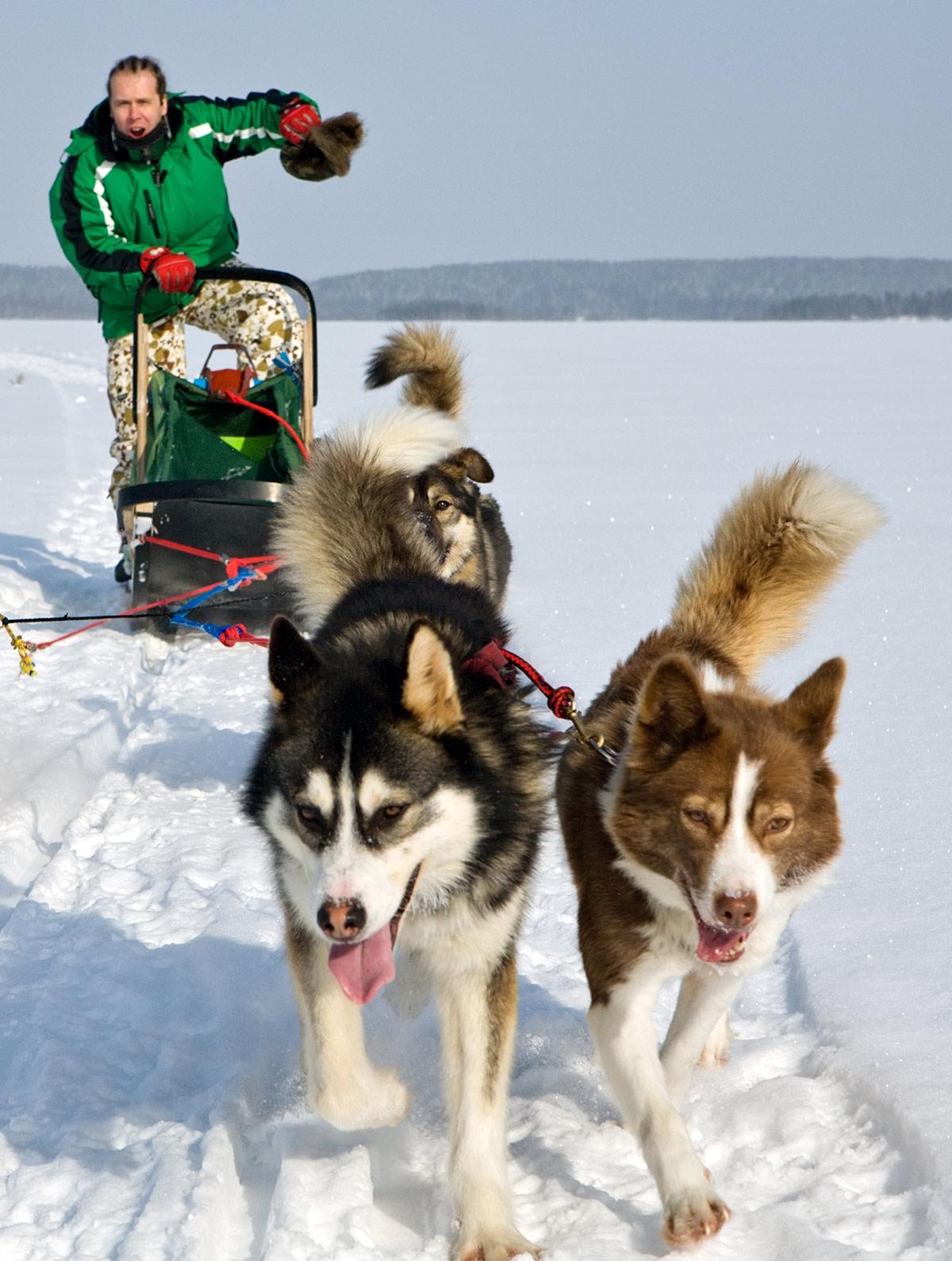 alaskan husky sled dogs