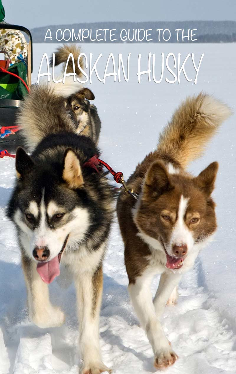 A guide to the amazing Alaskan Husky