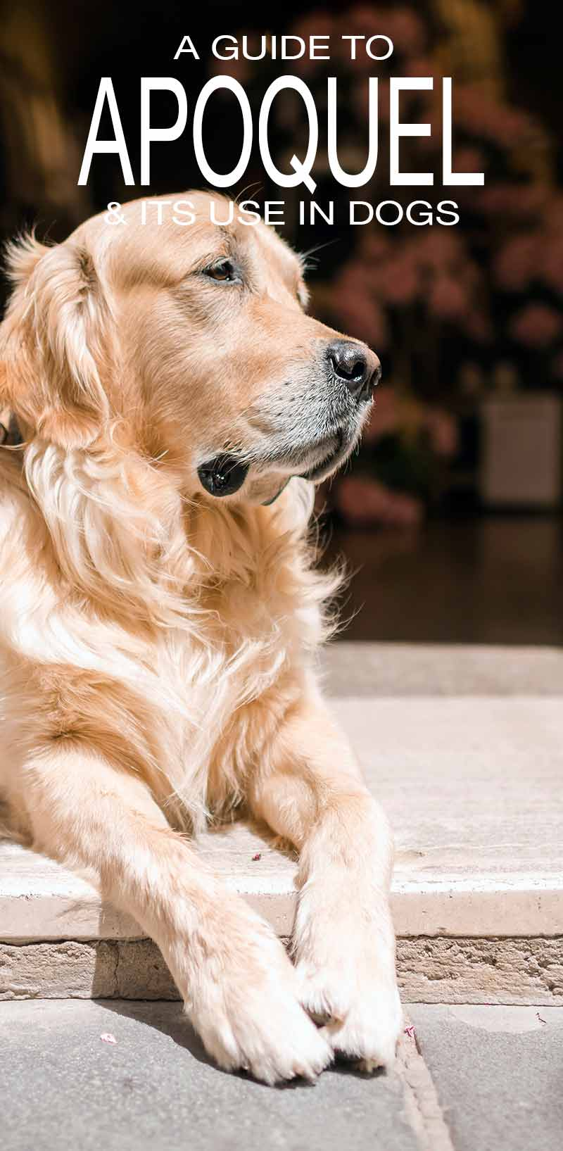 Apoquel for dogs - information and uses