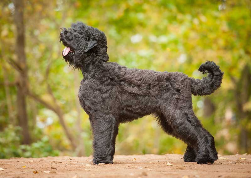 Black Russian Terrier outdoors