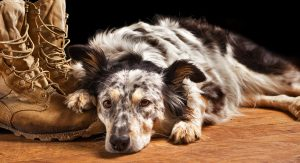 Border Collie Australian Shepherd Mix – The Border Aussie