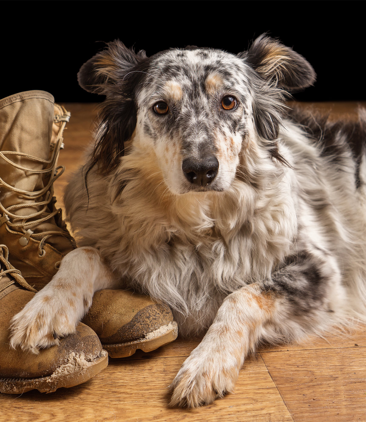 Border Collie Australian Shepherd Mix - Will This Be Your