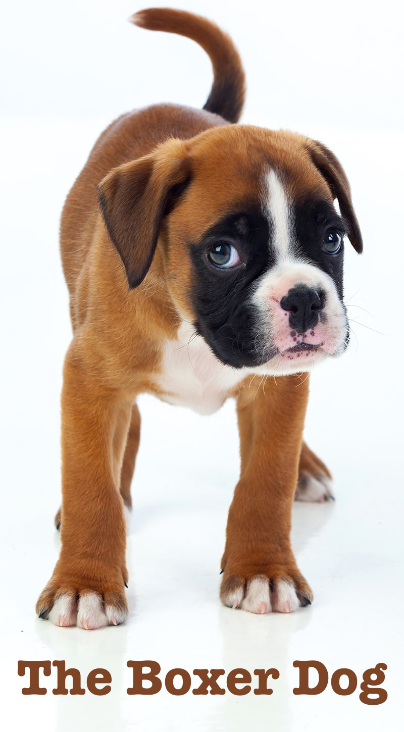 The Boxer Dog A Complete Guide