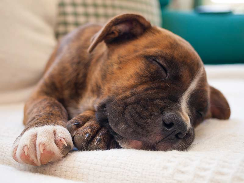 Brindle pitbull puppy sleeping