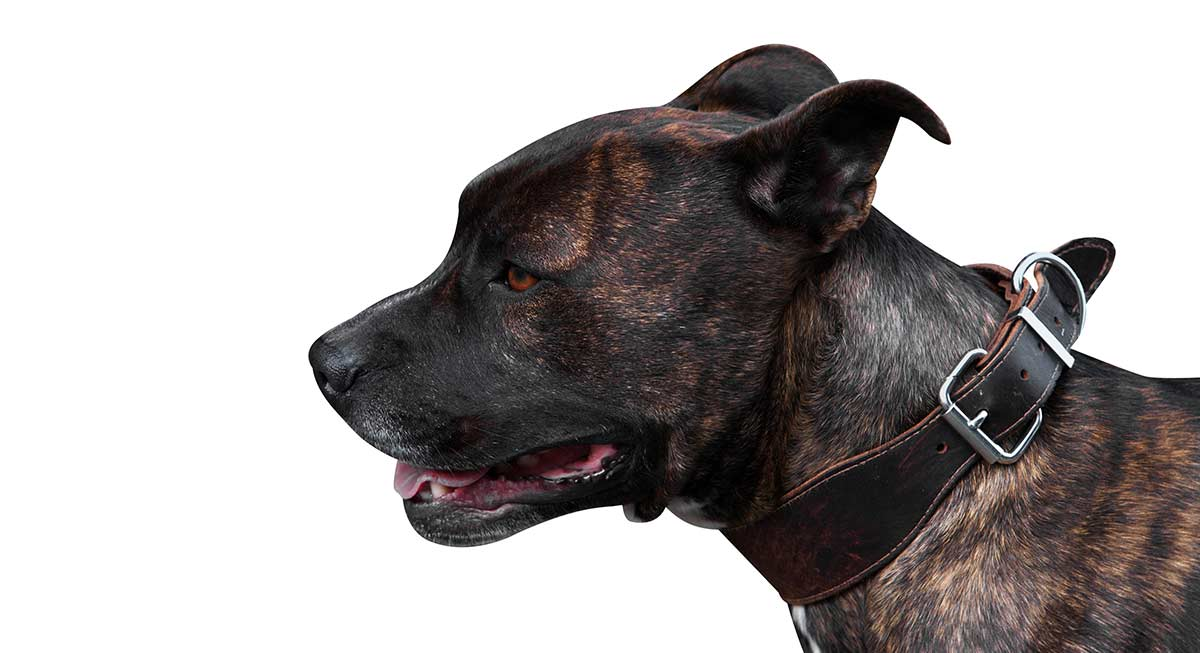 Brindle Pitbull - A Detailed Guide To A Loyal Breed