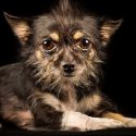 Chihuahua Terrier Mix – What To Expect