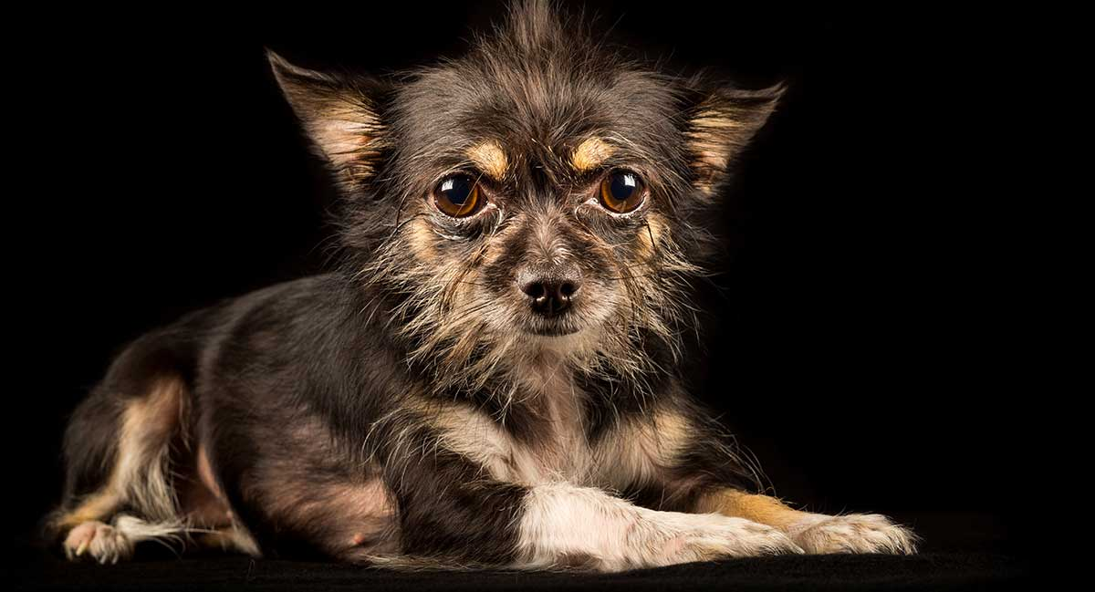 chihuahua and terrier mix chihuahua terrier mix what to expect from this unusual 3553