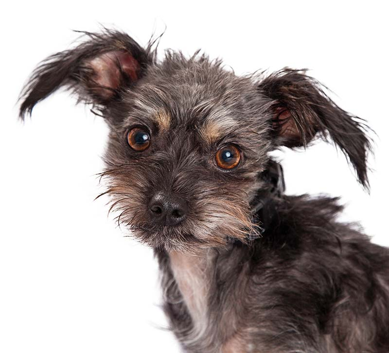 chihuahua and terrier mix chihuahua terrier mix what to expect from this unusual 8905