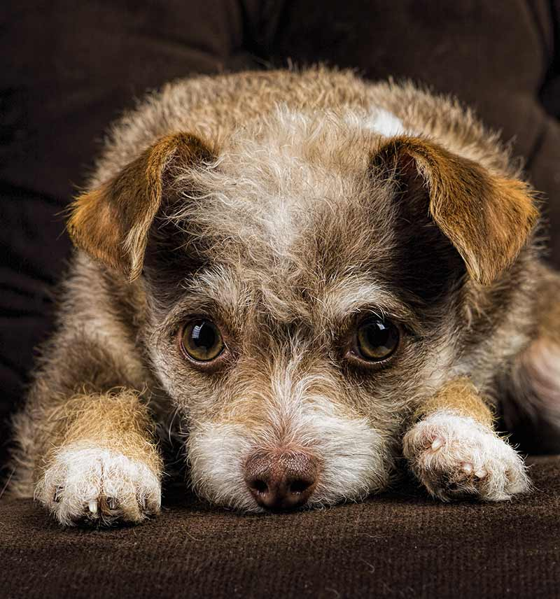Chihuahua Terrier Mix What To Expect