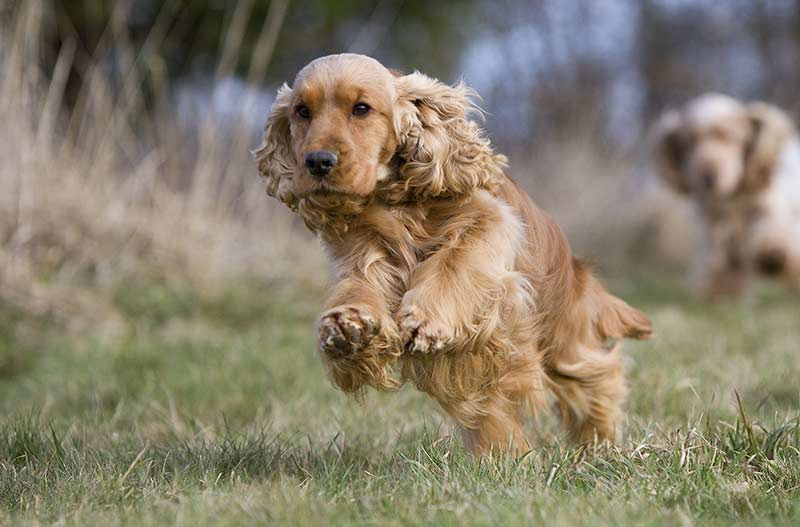 Geliefde Golden Cocker Retriever - Is This The Ideal Family Pet? @KF18