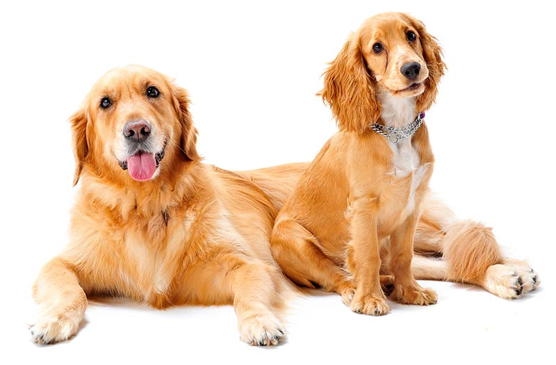 Magnifiek Golden Cocker Retriever - Is This The Ideal Family Pet? @JB01