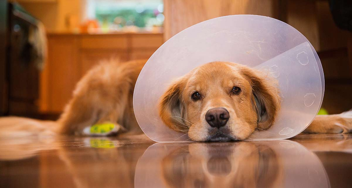 Choosing the best dog cone for your injured pet