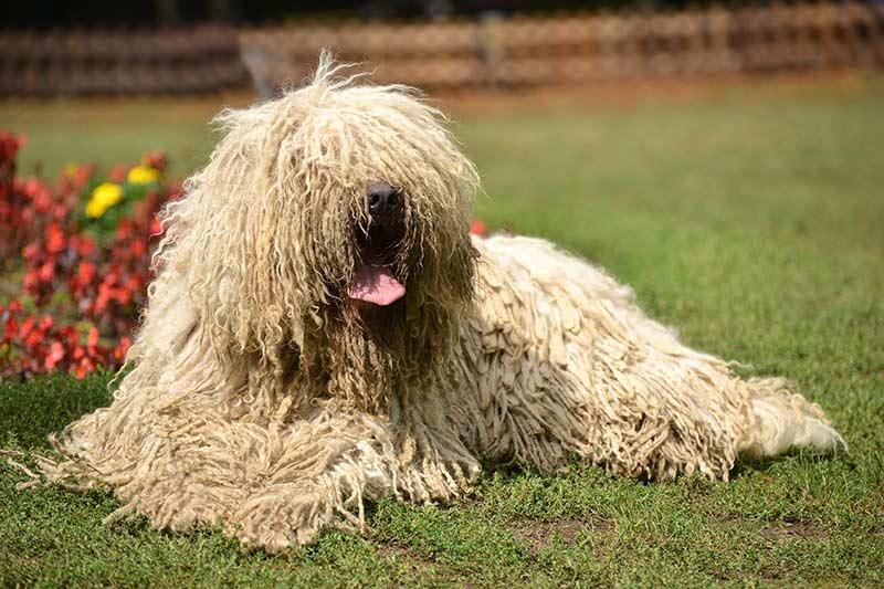 Komondor - hungarian sheepdog, long haired dogs