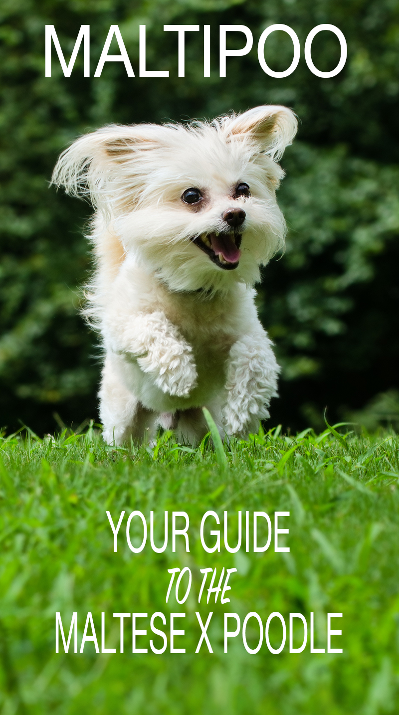 Maltipoo - Your Guide To The Adorable Maltese Poodle Mix Black Maltese Poodle Puppies