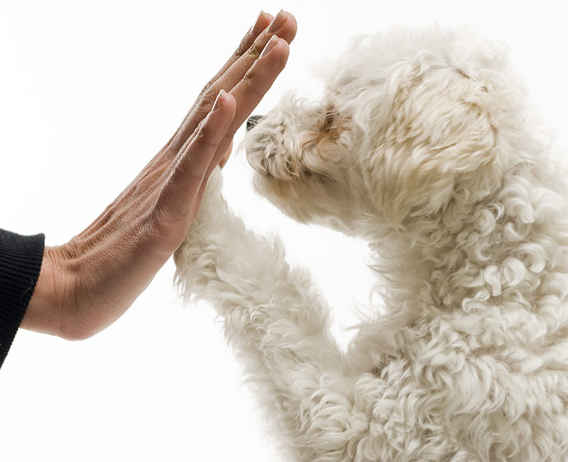 Maltipoo - Your Guide To The Maltese Poodle Mix