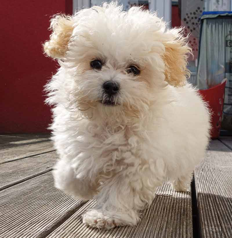 Maltipoo Your Guide To The Adorable Maltese Poodle Mix
