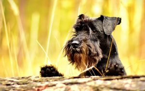 The Miniature Schnauzer Dog Breed – A Complete Guide