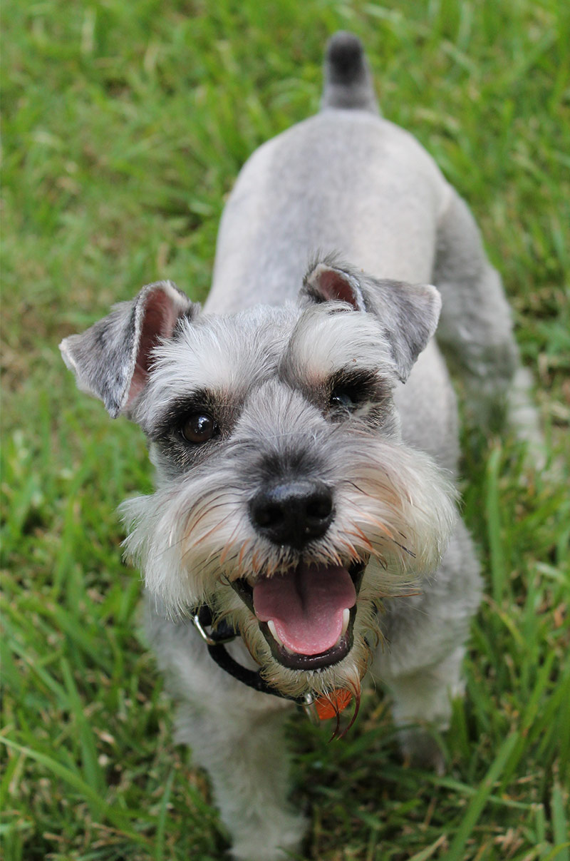 The Miniature Schnauzer Dog Breed A Complete Guide