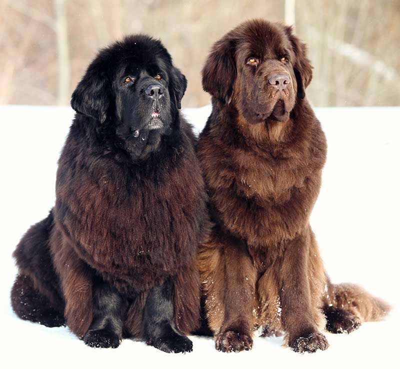 two newfoundland dogs