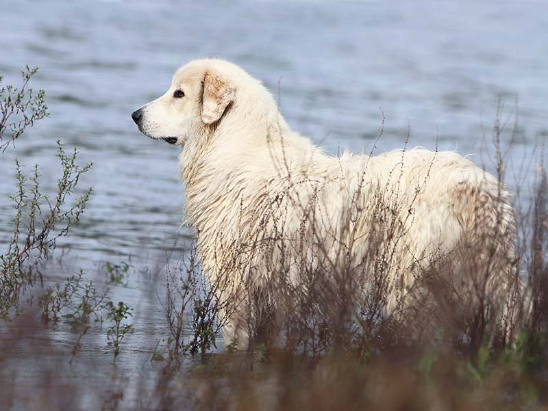 Great Pyrenees - the Pyrenean Mountain Dog