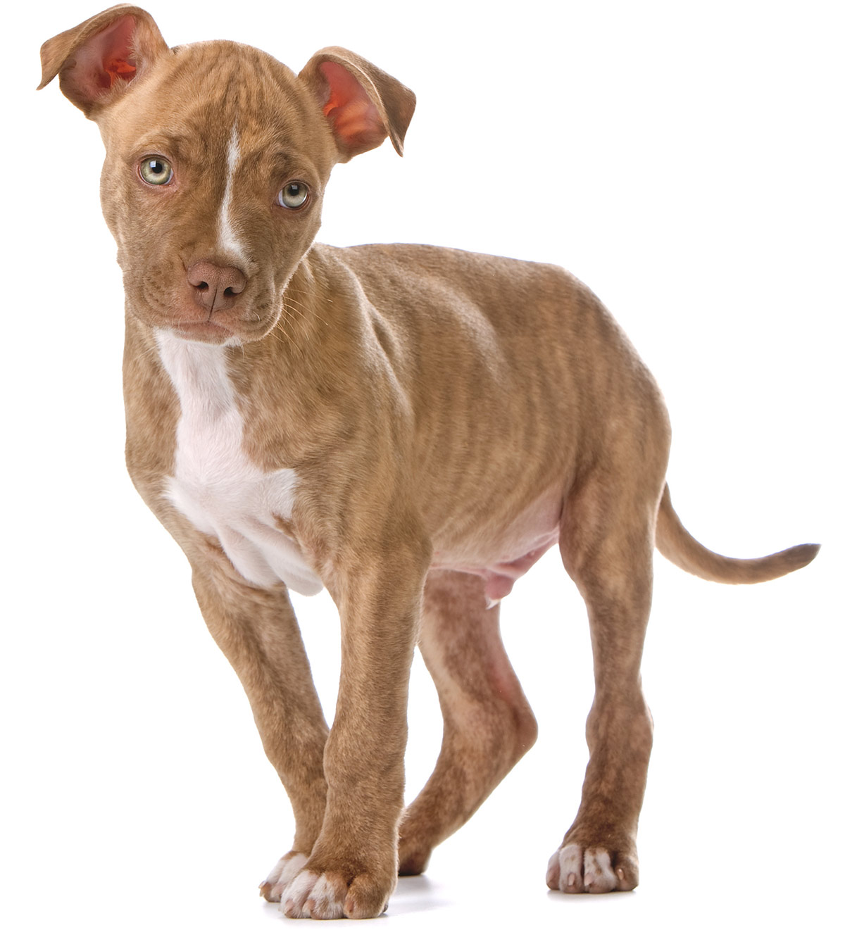 red nose pitbull