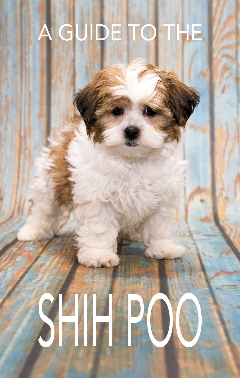 Poo Adult shih picture